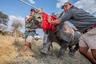 Носороги вынуждены бороться за выживание. Ежедневно браконьеры убивают около трех особей, чтобы реализовать рога животных на черном рынке. <br> <br> В последнее время многие правительства южноафриканских стран выступают за легализацию торговли рогом. Однако Ботсвана ведет работу по восстановлению популяции носорогов в условиях глобального кризиса, спасая животных из браконьерских «горячих точек». Активисты выводят животных из соседних стран в дельту реки Окаванго. Государство восстанавливает потери после активного браконьерства на своей территории. Власти создают популяцию, способную пополнять парки и заповедники, как будто это Ноев ковчег.  <br> <br> Фотограф работал в составе команды по сохранению носорогов в Ботсване для создания серии художественных работ. Шорт-лист профессиональной программы в категории «Флора и фауна».