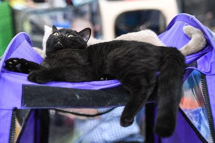 ВСША фанаты «Черной пантеры» разбирают изприютов темных кошек