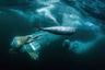 Северные олуши в Атлантическом океане около Noss NNR в Шотландии.   Открытый конкурс по тематике «Дикая жизнь».