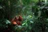 Фотография была сделана во время пятидневного похода в горах, в центре национального парка. В отличие от борнеанских орангутанов суматранские орангутаны очень редко спускаются с деревьев, так как им приходится делить одну и ту же среду обитания с тиграми.  Шорт-лист, открытая программа, категория «Дикая жизнь».