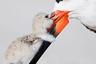 Фотограф лежал в снегу до восхода солнца, дожидаясь, пока американский водорез прилетит кормить своего птенца. Процесс поедания рыбы в кадр не попал, однако момент нежности между счастливым родителем и его ребенком фотохудожнику удалось запечатлеть. <br> <br> Фотограф Томас Чадвик несколько лет снимал колонию черных скиммеров (американских водорезов). Каждый год он выбирал семью птиц и следил за ее жизнью с момента появления яйца до оперения маленьких птенцов. Со слов фотохудожника, он специально направляет все внимание на одно гнездо: «Жизнь колонии хаотична. Вы многое пропустите, если будете снимать сразу сотни птиц». Финалист в номинации «Живая природа».