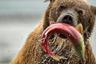 Чтобы набрать вес до зимней спячки, курильскому медведю необходимо съедать до 40 лососей в день. Этот бурый медведь удачно порыбачил в Курильском озере.