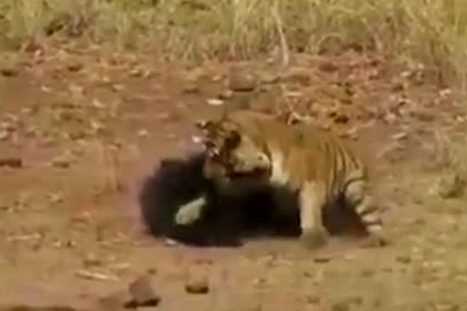 Схватка тигра и медведицы попала на видео