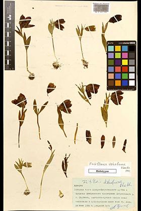 Fritillaria dzhabarae