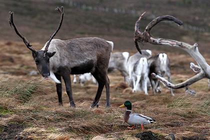 Популяцию дикого северного оленя изучат на острове Белый