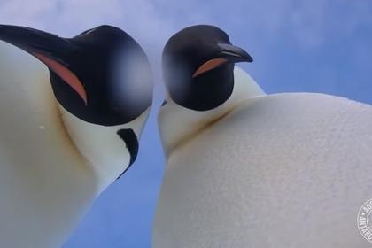 Антарктические пингвины отыскали камеру исделали селфи