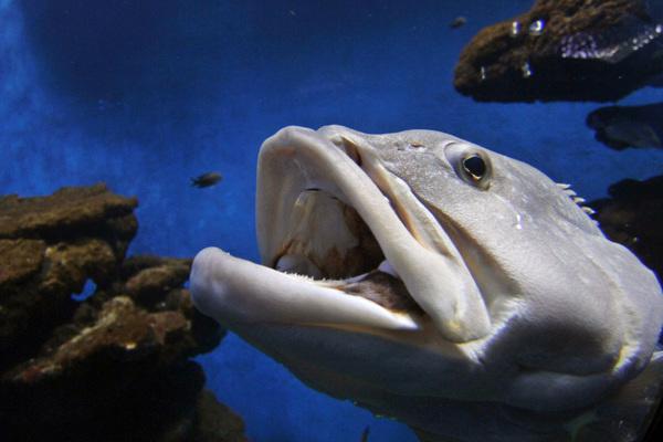 Рыба семейства Групер (лат. Epinephelus)
