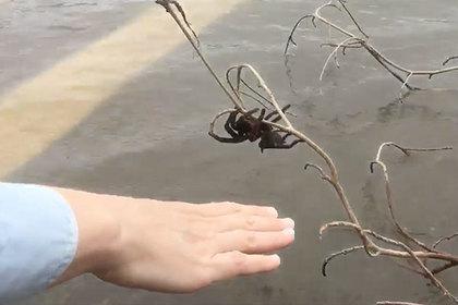 Австралийка бросилась в воду ради спасения ядовитого паука
