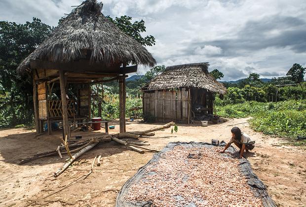 У ашанинка сельское хозяйство очень развито, на своих полях-чакрах они выращивают более двадцати различных культур. Одна из самых популярных — какао: семена в сочной оболочке помещают в мешок, сливают сок, который пьют как освежающий напиток, а потом раскладывают содержимое мешка на солнце для сушки и ферментации. После какао-бобы продают в города, и там уже из них делают шоколад.