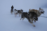 Чукотская упряжка на тренировке в зимних условиях.