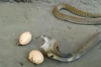 Испуганная кобра выплюнула три яйца