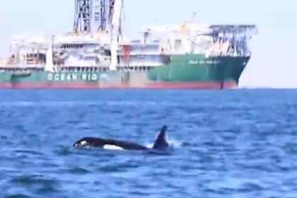 Ученые сняли на видео расправу двух косаток над дельфином