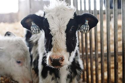Россиянам разрешили шпионить за коровами после пресс-конференции Путина