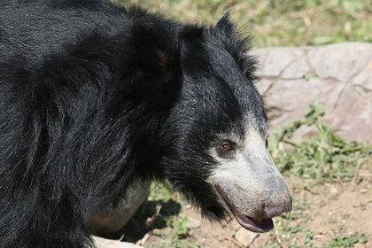 Одна из последних пляшущих медведиц в Непале погибла в грязи и тесноте