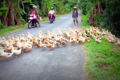 Сотни звонко крякающих уток преградили дорогу мотоциклистам