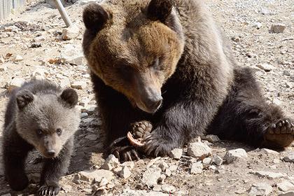 Медведицы начали дольше заботиться одетях из-за охотников