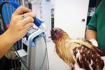 «Настоящий воин!» ВТаиланде живет цыпленок без головы