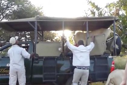 Дружелюбный лев запрыгнул в джип во время сафари и распугал туристов