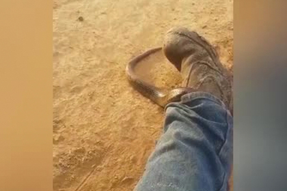 Смертельно ядовитая змея заползла в штанину к австралийцу