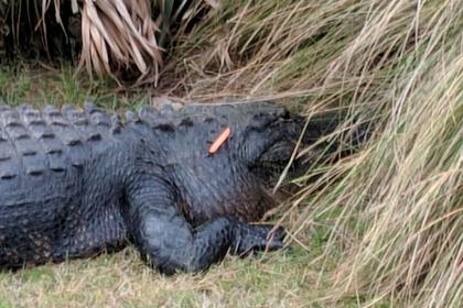 Забросавшие аллигатора морковью туристы заплатят 200 долларов за каждый овощ