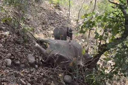 Слоненок часами отказывался отходить от погибшей матери