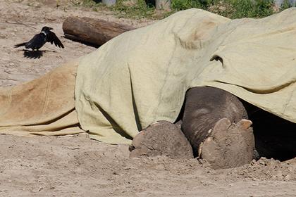 Хозяин слона-беглеца разозлился и заморил его голодом