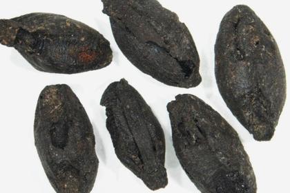 Ученые МГУ нашли семена культурных растений в захоронениях древних кочевников
