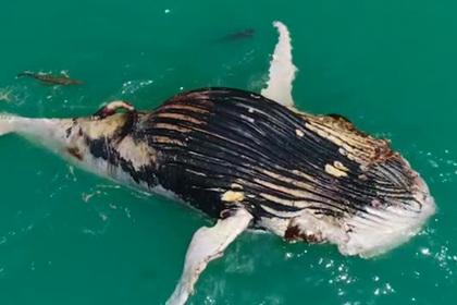 Акулы поделились с крокодилом мертвым китом и попали на видео