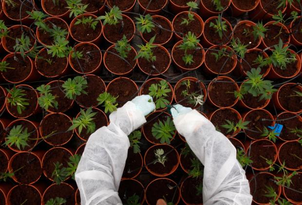 Ответственность за марихуану в россии как рисуется марихуана