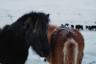 В январе нам довелось увидеть другую—безлюдную, пустынную— Исландию. В августе около каждого каньона или водопада стояло по две-три машины, в январе мы были одни всегда и везде. Рядом расхаживали только обросшие мехом коренастые лошади — уникальная порода, выведенная на острове еще во времена викингов. Вывозить коня из Исландии нельзя категорически— кровь должна оставаться чистой. Если он попадет за пределы страны, ввозить его назад тоже запрещено.