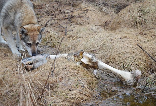 Жуля — сторож приюта для волков