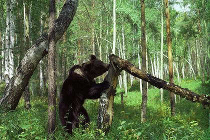 Медведь помог отыскать заблудившихся в тайге россиян