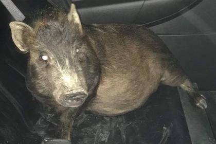 Свинья погналась за американцем и выставила его алкоголиком