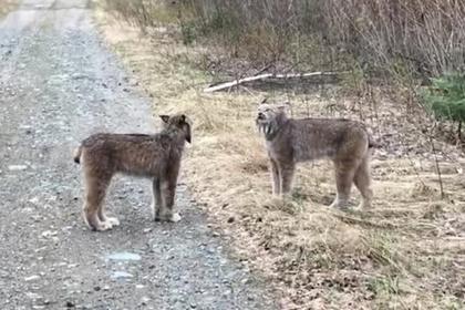 Дикие кошки наорали друг на друга и прославились