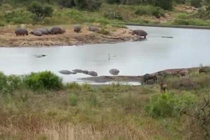 Бегемоты спасли антилопу гну от крокодилов