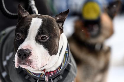 На Урале хозяина бойцовских псов осудили за их нападение на ребенка