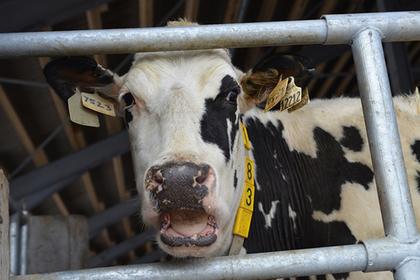 В Подмосковье придет крупный молочный производитель
