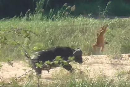 Буйвол поднял львенка на рога ради спасения ящерицы