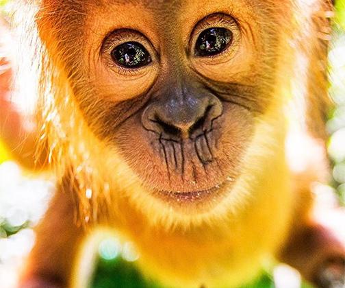 Последние пять лет фотожурналист Пол Хилтон провел в джунглях на индонезийском острове Суматра, где снимал дикую природу. Своими фотографиями он хочет привлечь внимание к проблеме вырубки лесов из-за огромных объемов продажи пальмового масла. Хилтон признался, что сильное влияние на него оказала первая встреча с орангутаном: «Его успокоили транквилизаторами, но он был еще в сознании. Когда я увидел орангутана близко и взглянул в его глаза, я понял, как все мы ошибаемся. Вырубать такое количество лесов, лишая дома столь умное существо, глубоко неправильно».