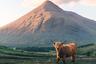 Шотландских коров называют хайленд: эти неприхотливые животные с жесткой длинной шерстью и теплым подшерстком обитают в шотландских высокогорьях (по-английски highlands). Они способны прокормиться там, где подножного корма недостаточно даже овцам, а плотная шерсть позволяет держать скот на вольном выпасе почти круглый год.