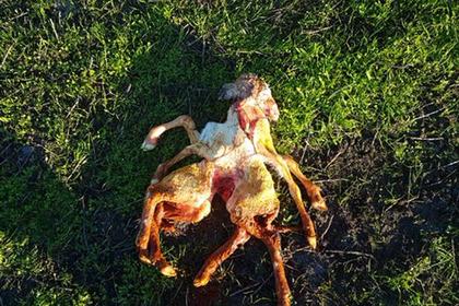 На австралийской ферме родился двутелый ягненок-паук