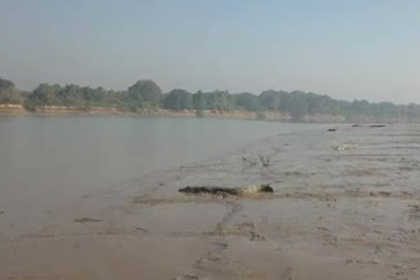 На берег реки выползли десятки крокодилов