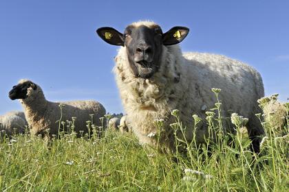Овцы заполонили пригород Парижа