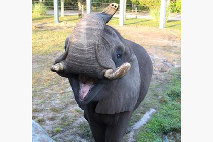 Слон Майкла Джексона сбежал