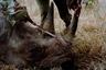 Продолжающаяся серия фотографий Дэвида Канселлора посвящена подвигу кенийцев, каждый день защищающих дикую природу и ее обитателей от жестоких браконьеров. Трогательные изображения спасенных животных попали в шорт-лист конкурса.
