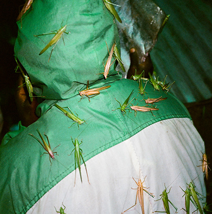 Кузнечики (nsenene на африканском языке луганда) для Уганды стали не только местным деликатесом, но и источником обогащения. Микеле Сибилони тщательно задокументировал процесс ловли этих насекомых. Эта фотоподборка принесла ему место в шорт-листе конкурса CAP.  <br> <br>  Каждую ночь большая часть населения охотится на кузнечиков: ловушки из бочек, пластиковых бутылок, сетей, мешков и металлических листов расставляют повсюду, даже на крышах домов. Привлекают насекомых мощным электрическим светом. Сезон ловли — во время массовой миграции кузнечиков, когда тучи насекомых закрывают небо. Такое происходит два раза в год, сразу после сезона дождей.