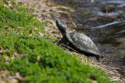 Столетняя черепаха ударилась в бега и проползла полтора километра за неделю