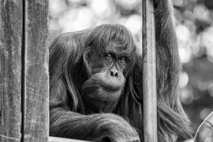 Умер самый старый орангутан на планете