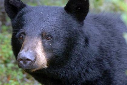 Канадец попытался отбить пса у медведя и проиграл