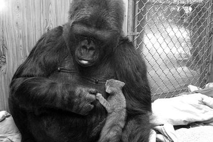 Прославленная на весь мир «говорящая» горилла умерла